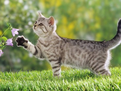 62840-cats-kitten-playing-with-purple-flowers